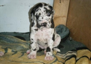 Great Danes Puppies For Sale