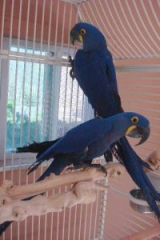 Proven Bonded Pairs of Hyacinth Macaws for Sale