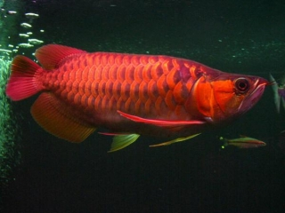 Qaulity Arowana Fishes and many other's ready for sale