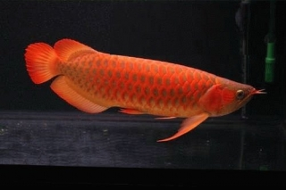 Best Quality Super Red And Many Others Arowanas Fish For Sale