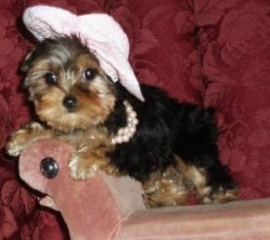 CUTE YORKIE PUPPIES FOR ADOPTION TAMPA BAY For sale ...