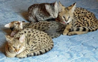 Championline Savannah kitten for sale