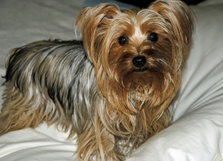 Amazing Yorkshire Terrier for Sale