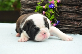 PURE AKC English Bulldog Puppies For Sale, Quality & Healthy