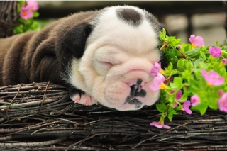 cute and adorable english bulldog puppies