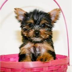 Lovely male and female Yorkie puppies for adoption.