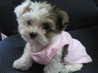 Teacup West Highland White Terrier For sale United States Pets - 1