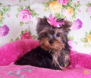 cut and nice yorkie pupppy for adoption