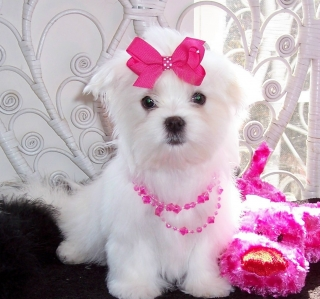 X-MAS cute and adorable home trained Maltese puppies.