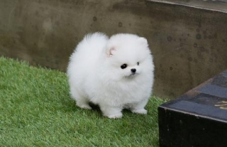 Super Adorable Mini Toy Pomeranian