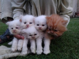 PURE PERSIAN KITTENS AVAILABLE FOR SALE $500 SAN JOSE For sale Bakersfield  Pets Cats