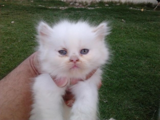 Pure Persian Kittens Available For Sale $500