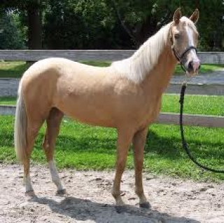 Palomino Gelding Horse For Sale