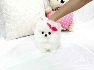 Alluring and Angelic Micro Tiny Pomeranian Puppies Wanting New Homes.