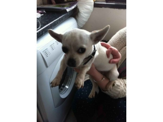 chihuahua puppies 2male and 3 female for good homes
