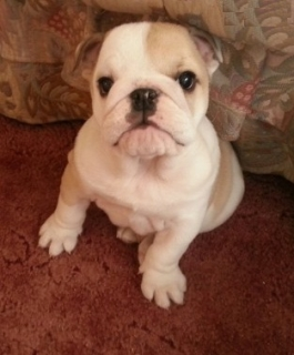Quality Male  Female English Bulldog Puppies