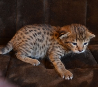 Savannah Kittens for sale.