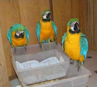 Hand fed blue and gold macaw parrots ready for new home