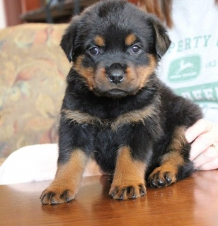 Rottweiler Puppies For Sale 21222 For Sale Baltimore Pets Dogs