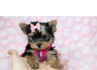 Super TINY TEACUPYorkie Puppies - READY NOW!!!