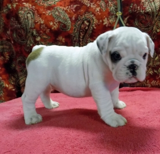 Puppies For Sale Under 300 Dollars For Sale United States Pets 6