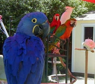 Talking Macaw Parrot for Sale