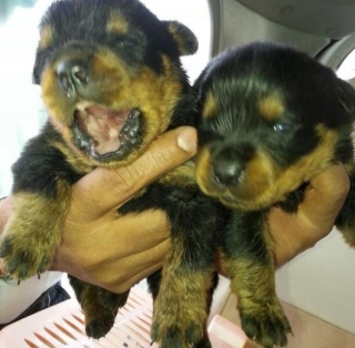 Rottweiler puppies for Free Adoption