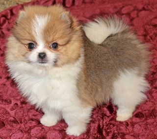 AMAZING MICRO TEACUP POMERANIAN PUPPY ANCHORAGE For sale Juneau Pets Dogs