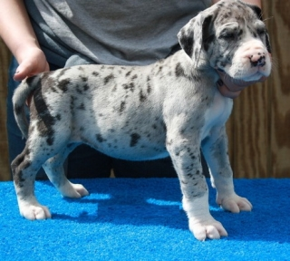 CUTE GREAT  DANE Puppies