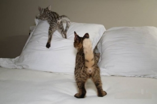 Adorable Savannah cats §§