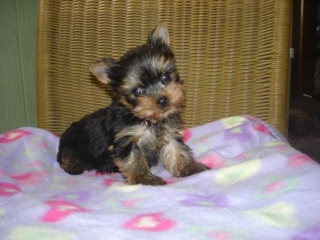 Yorkie puppiesTcup for sale