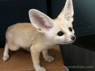 Babies Male and Female Adorable Fennec Foxes