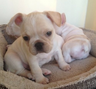 Adorable French Bulldog Puppies Now