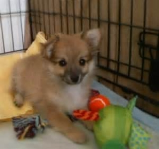 Lovely Pomeranian Puppies ..contact- us at-707377-8057..