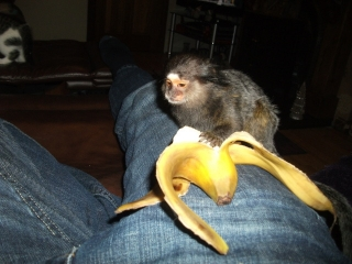Amazing pygmy marmoset monkey for adoption