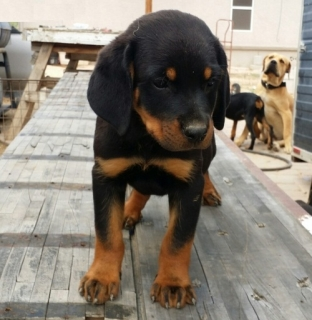 Strong and healthy rottweiler pups for rehome.