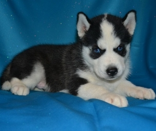 12 week old purebred Siberian Husky Puppy
