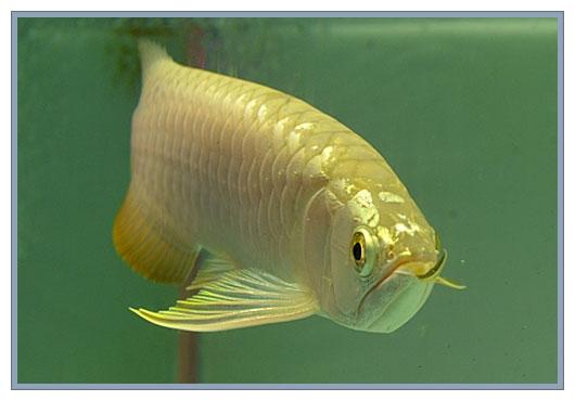 Premium Quality Arowana And Freshwater Stingray Fishes For