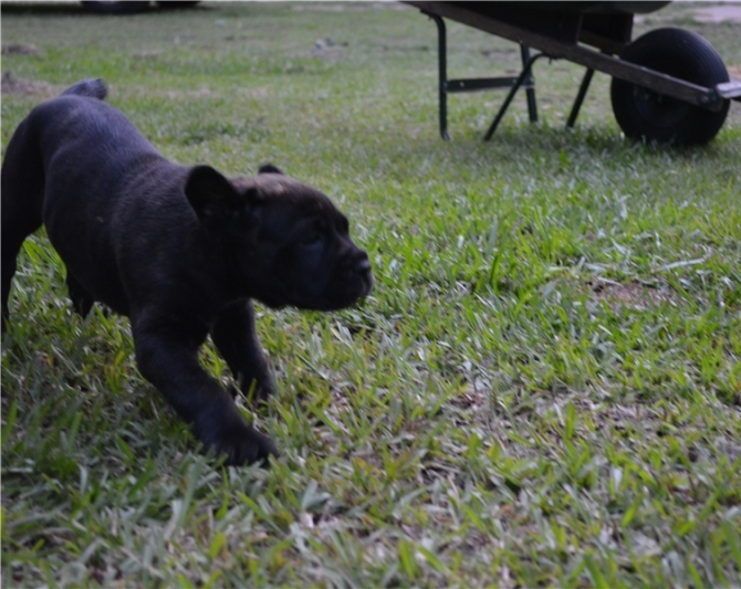 Cane Corso Puppies available for adoption pure breeds