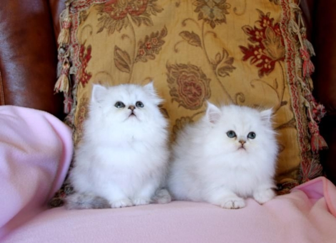 Male and Female Persian Kittens Available