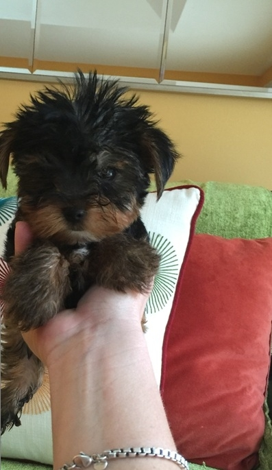 Perfect AKC Tea-Cup Yorkie Puppies!! Text:404 600-76816