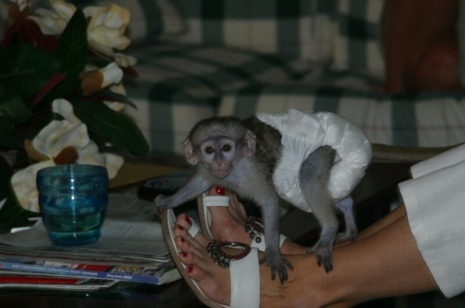 female Capuchin baby monkey raised in our home for adoption