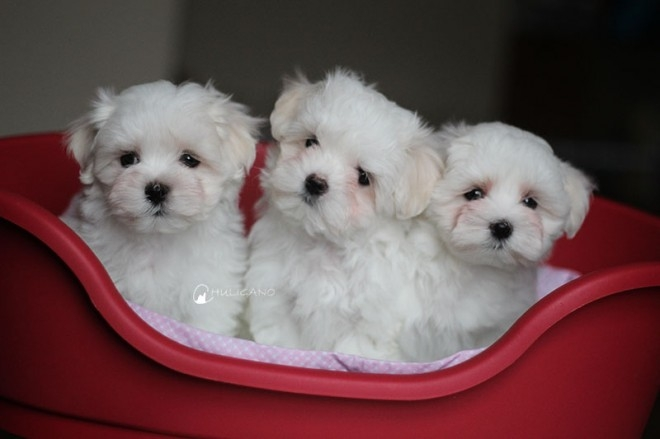Teacup Maltese Puppies Ready. text 480 400-3680