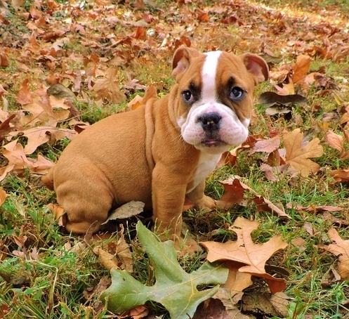 Awesome English Bulldog Puppies Ready