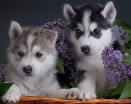 Vet.checked, Siberian Husky puppies text us