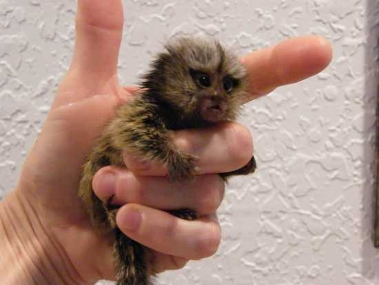 Beautiful Marmoset Monkeys Available