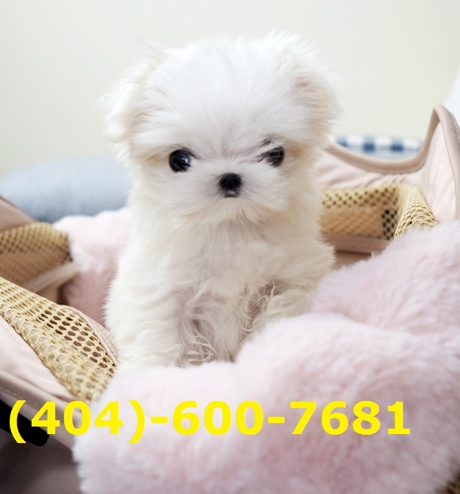 Healthy and loving Teacup Maltese Puppies. Text at 404-600-7681