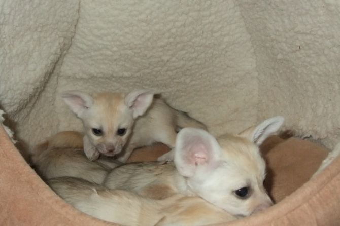 Fennec Fox kits available