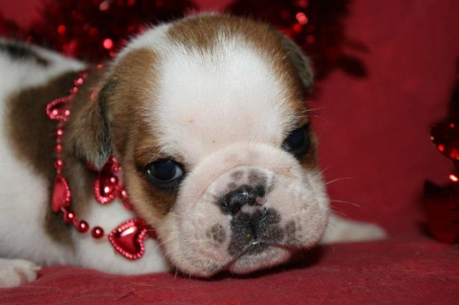 Adorable male and female English Bulldog Puppies Available for sale