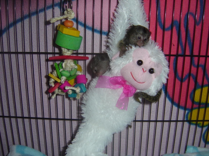 Awesome Marmoset and Capuchin monkeys Available Now ***Shipping is Available***